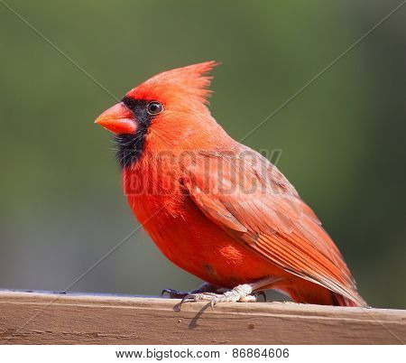 Male Cardinal Resting On Wood