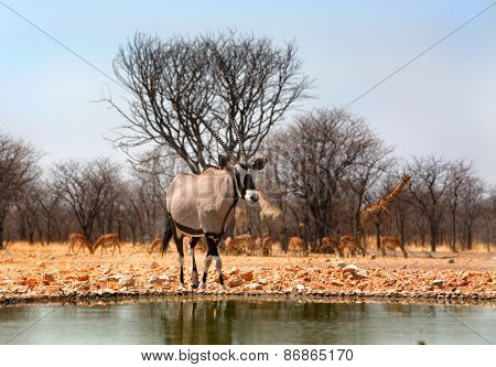Gemsbok Oryx next to a waterhole in Ongava
