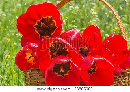 Bouquet Of Red Tulips In A Wicker Basket