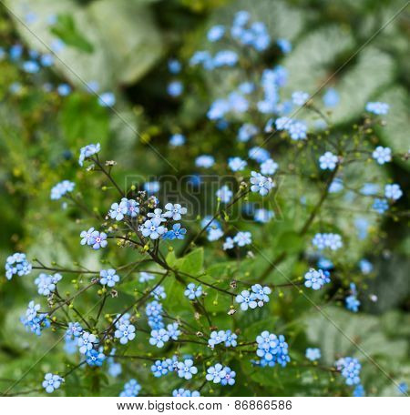 Floral background shot of a tiny blue flowers