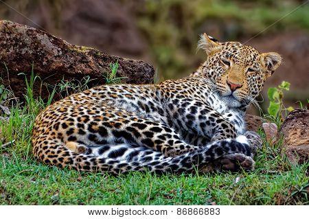 Very Cute Leopard Sleeping