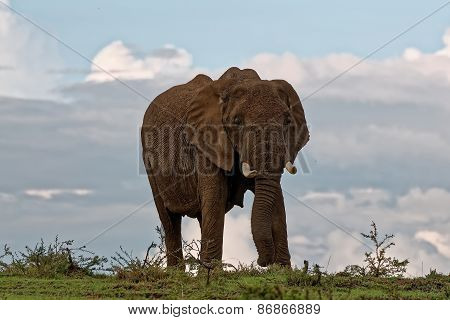 Isolated Elephant looking cautious