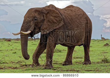Elephant trying to kick the shrub of grass for more delicious nutrients