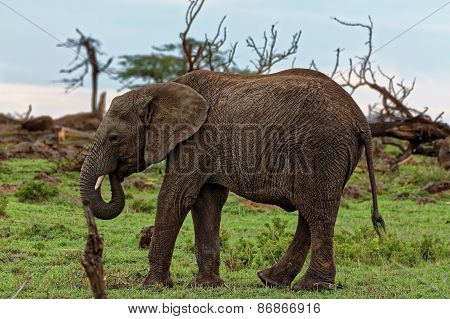 Very Cute Baby Elephant Isolated eating vegetation grass with trunk