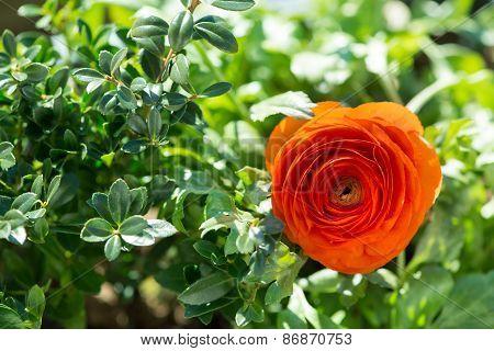 blossom of buttercup flower between green leafs at garden