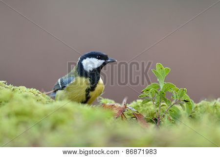 Great Tit, Parus Major