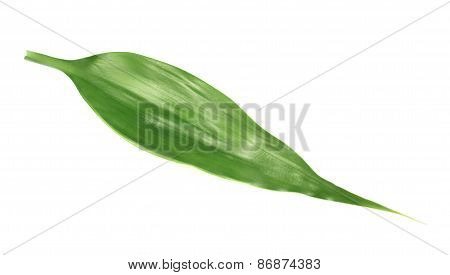 Palm tree leaf isolated