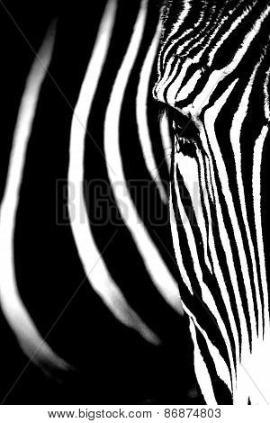 Grevy's Zebra Close Up.
