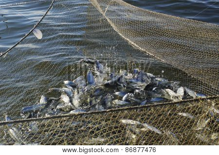 Seine With Catch Of Fish Peled