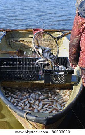 Boat With Catch Of Fish Coregonus