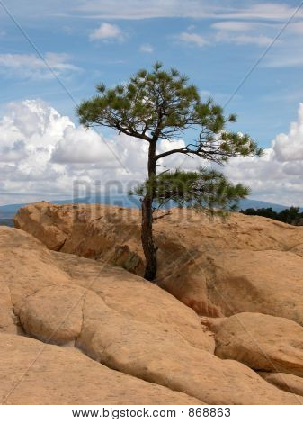 El Malpais pino