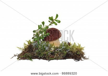 A cep mushroom and twig cranberries grown into the moss, isolated on white