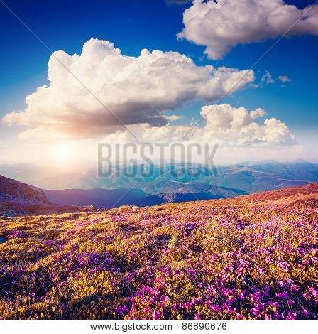 Great view of the magic pink rhododendron flowers on the hill. Dramatic unusual scene. White cumulus clouds. National park Chornogora. Carpathian, Ukraine, Europe. Beauty world. Vintage soft filter.