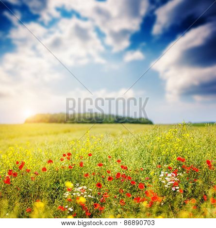 Fantastic closeup sunny grass and red poppies. Dramatic unusual scene. White cumulus clouds. Ukraine, Europe. Beauty world.