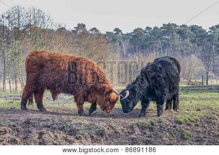 Fighting black and brown scottish highlander cow and bull