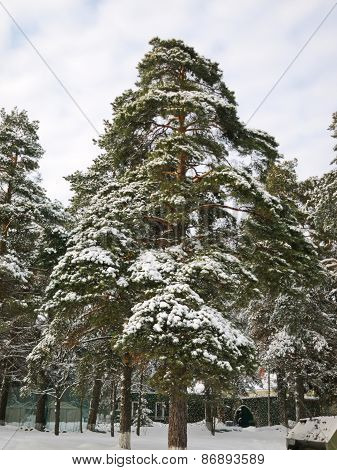 Beautiful snow-covered pine tree in winter