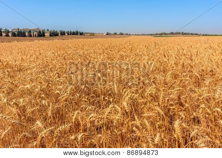 Ripe wheat grow on rural field in Israel.