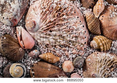 Abalone Shells And Other Shells In Coarse Seasand