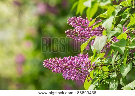 Magenta Lilac On Color Blurred Background
