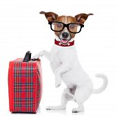 picture of jacking  - jack russell dog ready to leave for summer vacation or holidays with fancy red luggage or suitcase isolated on white background - JPG