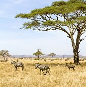 Постер, плакат: Zebras eats grass at the savannah in Africa