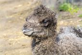 image of hump  - Newborn Bactrian or two - JPG