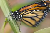 foto of monarch butterfly  - Monarch butterfly resting on a leaf in a natural biome - JPG