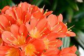 stock photo of natal  - Closeup of clivia miniata flowers in full bloom - JPG