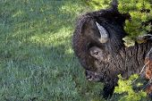 picture of pine-needle  - Large bison covered with dust dew and pine needles emerges from evergreen branches in Yellowstone National Park USA - JPG