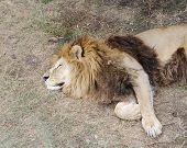 image of lion  - Sleeping lion, Safari Park Taigan (Lions Park) Crimea.