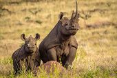 picture of rhino  - Black White Mother and Baby Rhino standing tall on termite hill - JPG