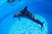 stock photo of oceanography  - Dolphin swims under the water and looking at the camera - JPG