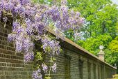 stock photo of green wall  - Blooming purple blue wisteria chinensis hanging over long brick wall - JPG