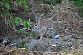 stock photo of peter cottontail  - Cottontail Rabbit sylvilagus in early morning light - JPG