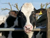 foto of tongue licking  - Cow farm animal with licking lips tongue out - JPG