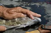 pic of fish skin  - A sheepshead fish is being filleted on a cleaning bench - JPG
