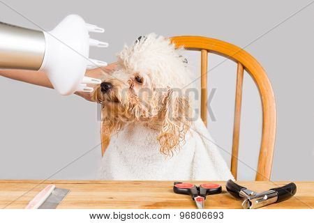 Concept of wet poodle dog fur being blown dry and groom after shower at salon