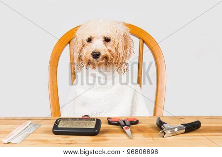 Concept of wet poodle dog seated after shower and ready for grooming in salon