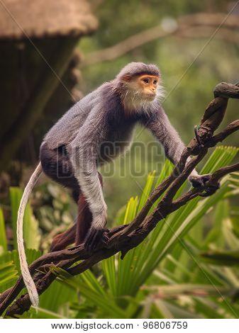 Monkey with orange face, Douc Langur