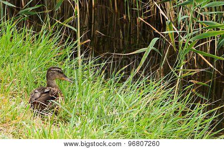 mallard in the grass