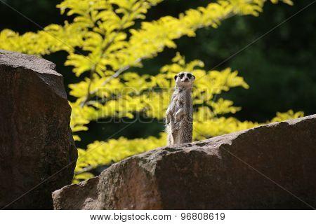 Meercat On Stone
