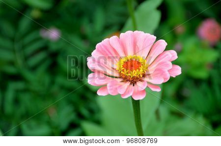 Vibrant Pink Aster Flower
