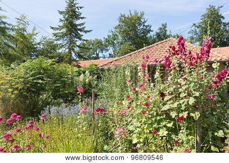 Dutch Garden With Colorful Blooming Hollyhocks