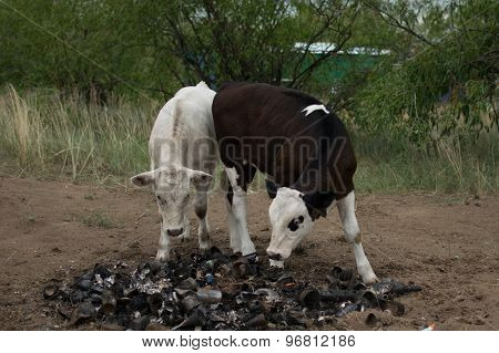 two little cow