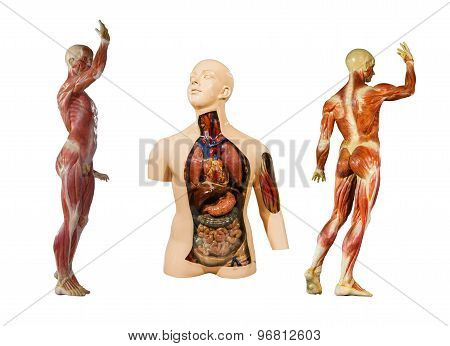 Human Anatomy Mannequin On White Isolate Background(clipping Path).