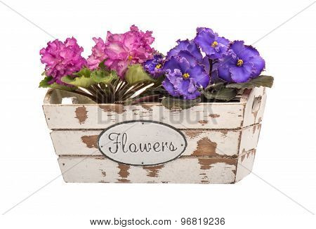 African violet flowers in the wooden decorative box isolated.