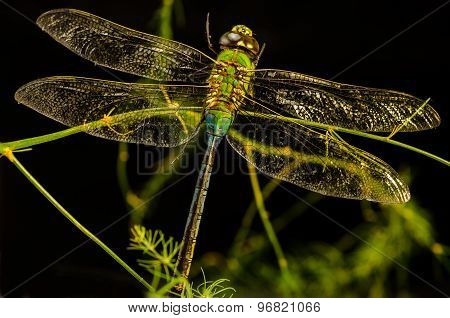 Dragon Fly On Vine Black Background