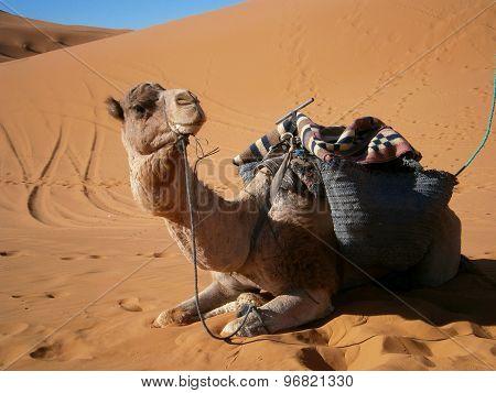Caravan Camel