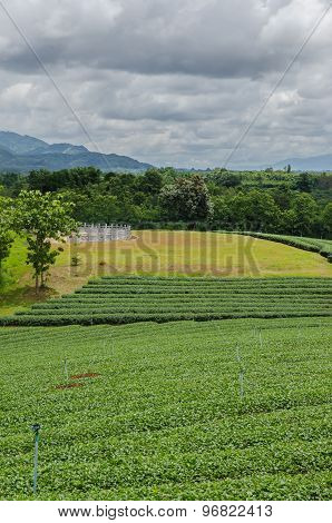 Tea Plantations In The North Of Thailand.