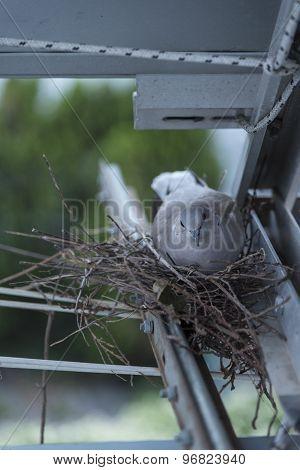 Tortora nest with egg